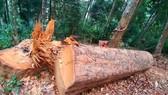 Cục Kiểm lâm vào cuộc vụ phá rừng ở Kon Tum