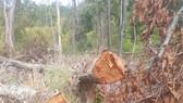 Bắt một đối tượng liên quan trong vụ chặt phá hơn 7,3ha rừng