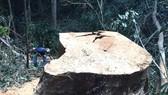Gỗ ở tỉnh Gia Lai bị chặt hạ