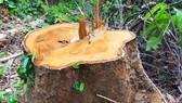Vụ gỗ bị đốn hạ giữa 2 trạm bảo vệ rừng: xử phạt 200 triệu đồng