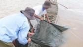 Giá cá linh đầu mùa tăng cao