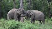 Các chú voi nhà được thả về môi trường rừng tự nhiên, sức khỏe sung mãn hơn