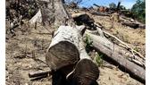 Khởi tố vụ án tàn phá trên 43ha rừng tự nhiên ở Bình Định