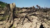 Có hay không việc cán bộ bao che vụ phá trên 60 ha rừng tại Bình Định?