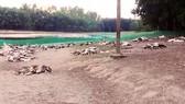Đàn vịt hơn 1.200 con nghi bị kẻ xấu đầu độc, chết chất thành đống