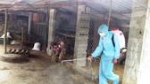 Xuất hiện ổ dịch tả heo Châu Phi tại Quảng Nam