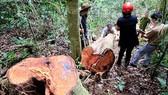 Cử người bảo vệ hơn 50m³ gỗ lậu trong rừng phòng hộ Quảng Bình đến qua tết