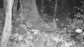 Loài nghi Sao La trong bẫy ảnh ở Phong Nha Kẻ Bàng