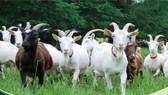 Việt Nam có tiềm năng phát triển chăn nuôi Dê sữa