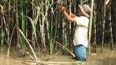 Nhiều diện tích mía bị ngập dài ngày, đang chết dần, cần sớm tiêu thụ cho nông dân