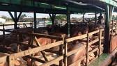 Dồn sức phòng chống dịch tả heo châu Phi ở ĐBSCL