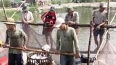 Giá cá tra giảm mạnh, người nuôi lỗ nặng