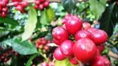 Nhìn lại niên vụ cà phê 2012-2013