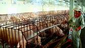 Ồ ạt nuôi lợn xuất TQ: Biết rủi ro vẫn làm