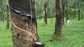Indonesia dừng xuất cao su nếu giảm dưới 3USD