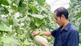 Trồng dưa lưới bằng công nghệ cao mang lại hiệu quả kinh tế cho người trồng ở TPHCM
