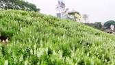 Ngỡ ngàng với thảo nguyên hoa đẹp như cổ tích ven sông Hồng