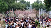10.000 cành hoa anh đào Nhật bản sẽ khoe sắc tại Hà Nội