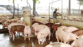 Pig prices continuously recover in Dong Nai Province