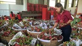 Dragon fruits are prepared to be exported to the US. (Photo: SGGP)