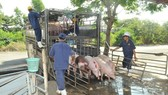 There will be possibly a shortage of pork at the end of the year. (Photo: SGGP)