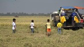 Nguy hiểm khi trẻ em chạy theo máy gặt đập liên hợp bắt chuột