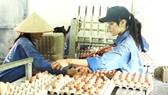 Công đoạn xếp trứng ở trang trại gà đẻ của Tập đoàn Hùng Nhơn