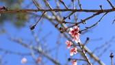 Enjoying Japanese cherry blossom in Da Lat