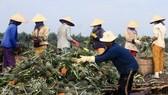 People harvest pineapple in Hau Giang province (Photo: VNA)