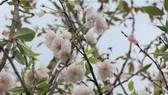 Japanese cherry tree planting ceremony held in Da Lat City