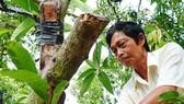 Xoài bonsai cho lợi nhuận cao