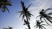 Khủng hoảng cây dừa