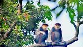 Son Tra, kingdom of rare primate