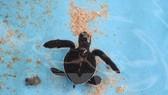900 baby turtles returned to sea
