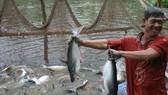Pangasius price hits peak in Mekong Delta