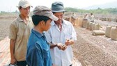 Vietnam's raw cashew output reduces nearly 50 percent in comparison with the same period of last year
