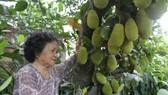 Jackfruit tree born 500 fruit babies