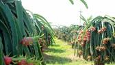 Dragon fruit, Binh Thuan typical product