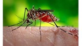 The dengue virus is transmitted to humans via the bite of an infected mosquito.(Illustrative photo)