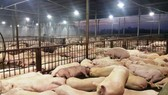 Thousands of pigs found injected with sedative