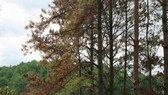 A forest of pine trees' leaves start to change icolor (Photo: SGGP)