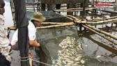 Thừa Thiên – Huế: Hơn 100 tấn cá nuôi chết