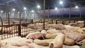 Trước đó đã phát hiện 3.750 con heo bị tiêm thuốc an thần ở lò giết mổ Xuyên Á (huyện Củ Chi)