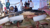 Lễ an táng cá voi nặng 600kg.