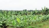Đồng Nai: Nông dân vẫn tăng diện tích trồng chuối