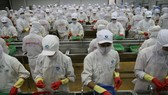 A shrimp processing line of Minh Phú Seafood Corporation. — Photo cafef.vn