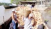 Nghịch lý ngành dừa: Được giá, nông dân vẫn không giàu