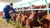 Doanh thu bán bò của Hoàng Anh Gia Lai sụt giảm mạnh