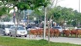 Thả bò trên giao lộ