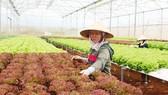 Người lao động sản xuất nông nghiệp công nghệ cao tại Lâm Đồng